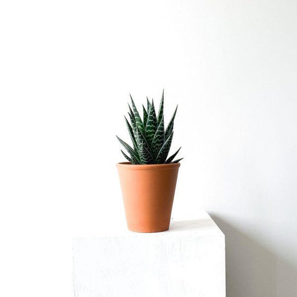 Ghp Aloe Aristata terracotta saksi 03