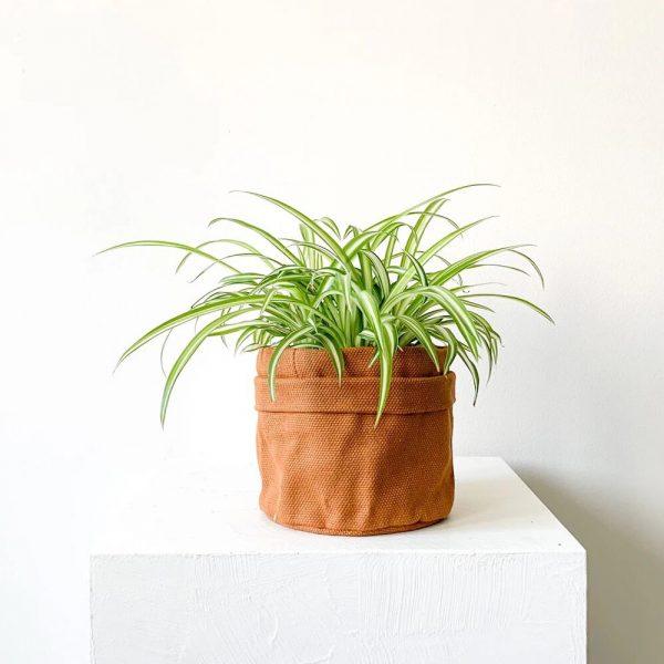 Ghp Chlorophytum Comosum terracotta kumas saksi 02