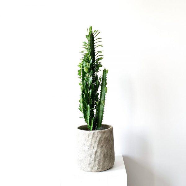 Ghp Euphorbia beyaz beton saksi 03