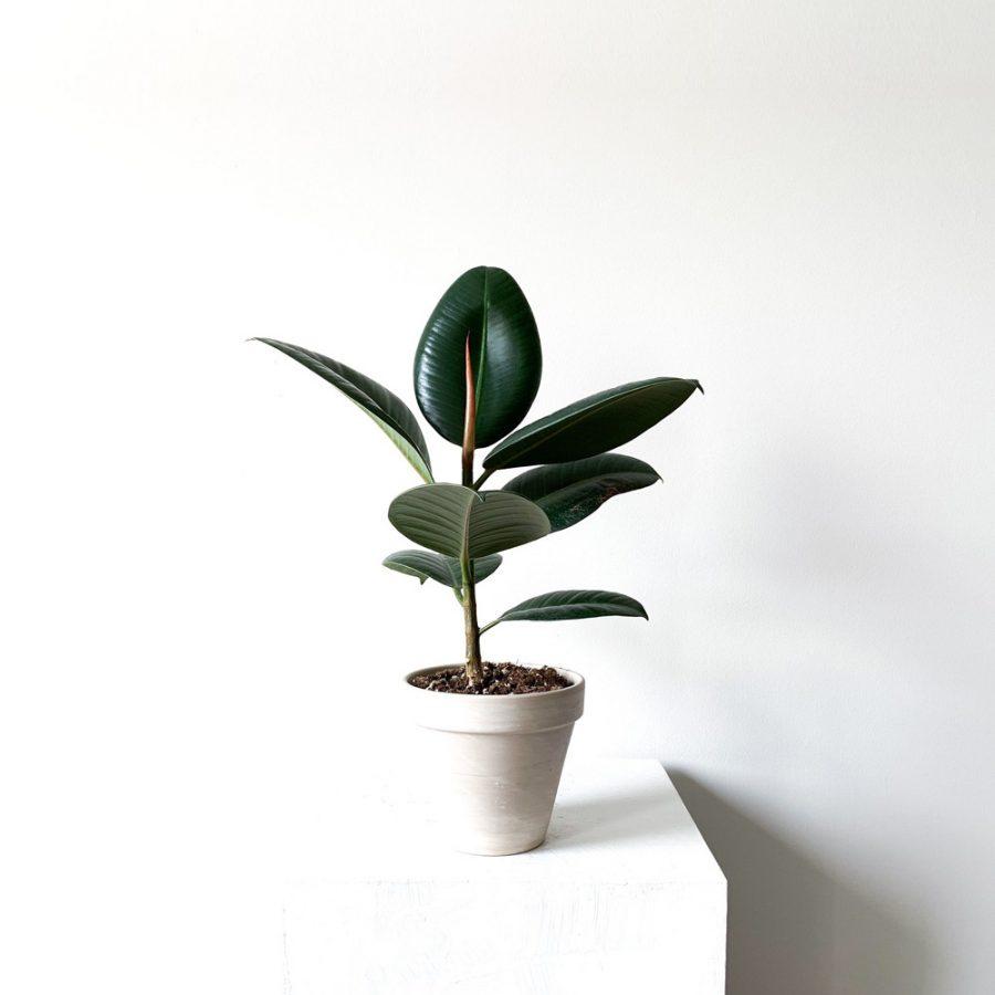 Ghp Ficus Elastica kucuk beyaz toprak saksi 02