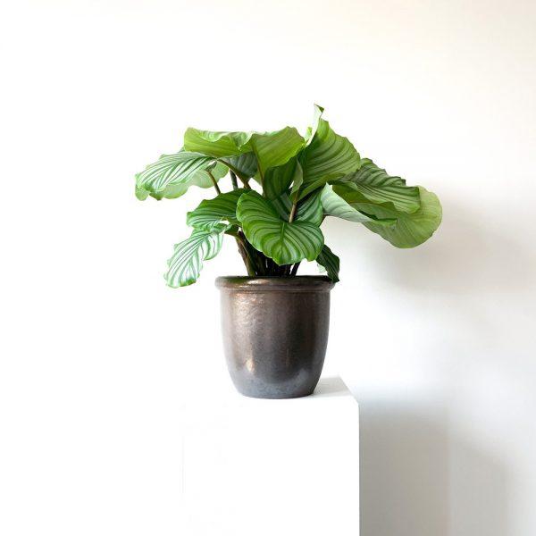 Ghp Orbifolia bronz saksi 04