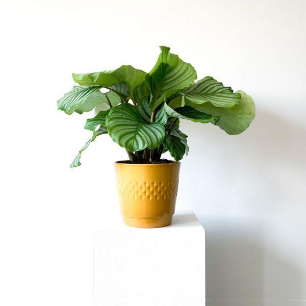 Ghp Orbifolia hardal rengi seramik saksi 03
