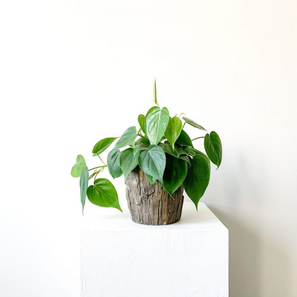 Ghp Philodendron Kutuk Saksi 02