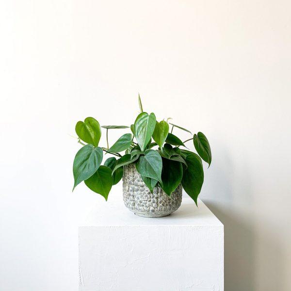 Ghp Philodendron gri tas saksi def 01