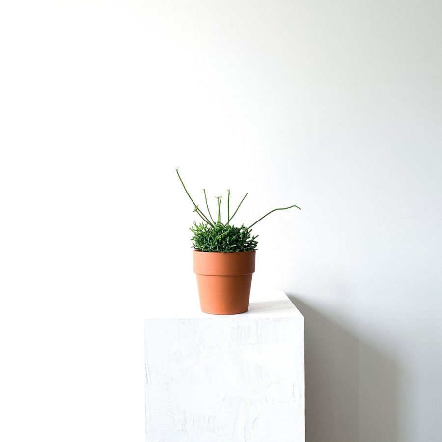 Ghp Rhipsalis terracotta saksi def 01