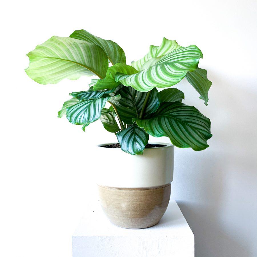 Orbifolia 6