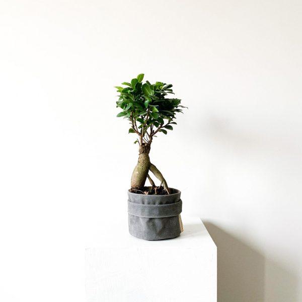 ghp Ficus Ginseng Bonsai antrasit kumas saksi 03