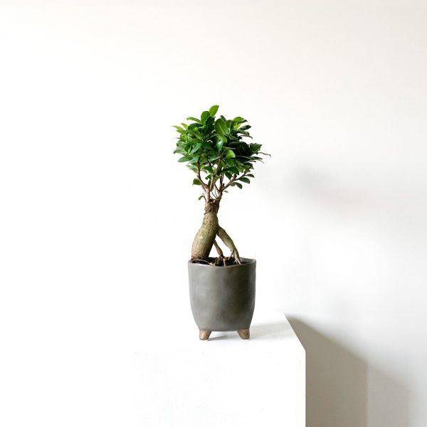 ghp Ficus Ginseng Bonsai ayakli fume saksi def 01