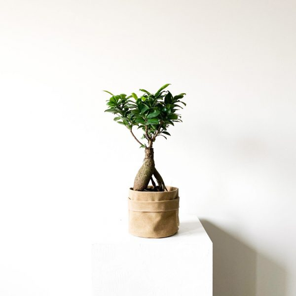 ghp Ficus Ginseng Bonsai hardal rengi kumas saksi def 01