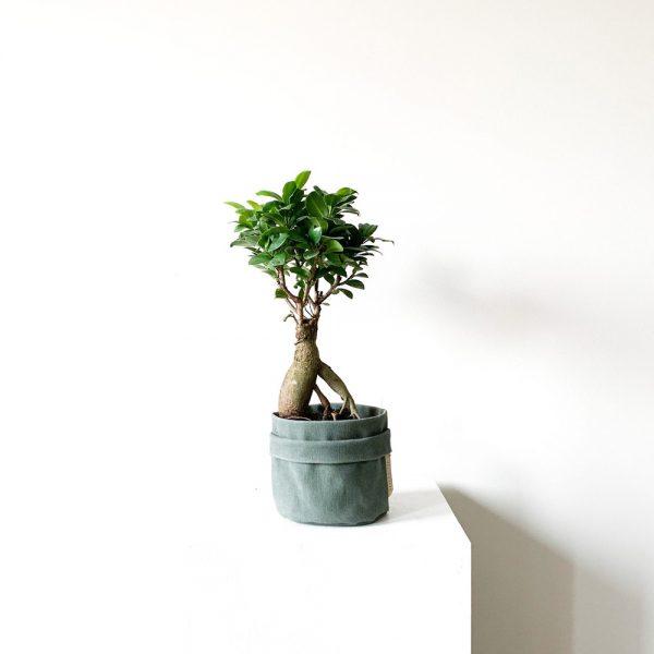 ghp Ficus Ginseng Bonsai yesil kumas saksi 02