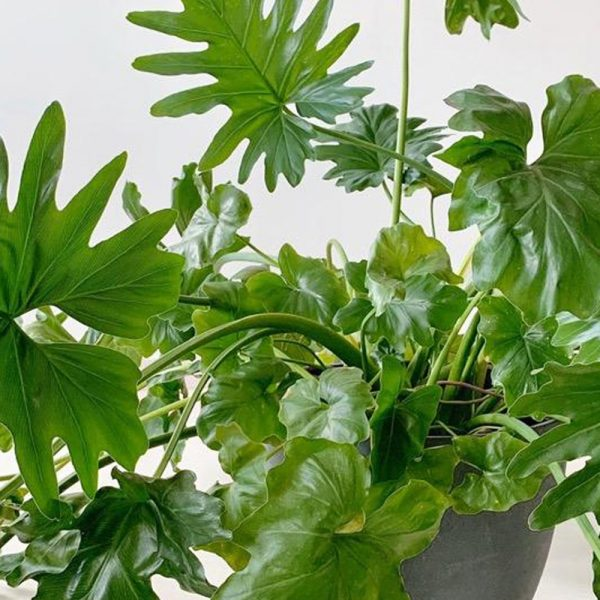 ghp Philodendron 02