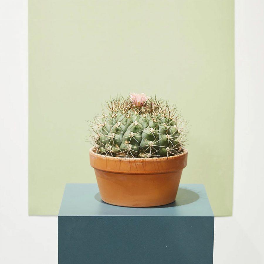 ghp echinocactus 02
