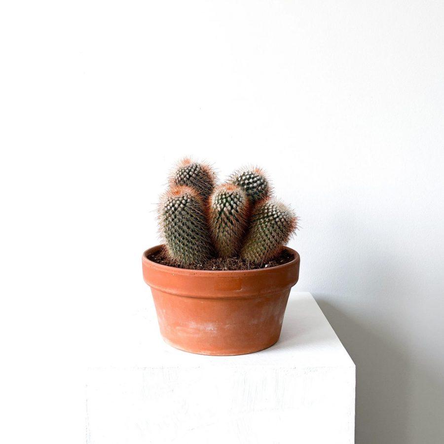ghp kaktus 01