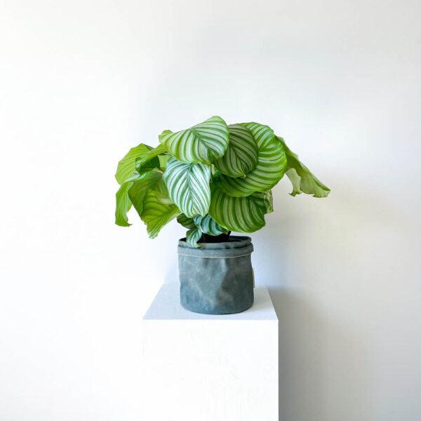 ghp orbifolia00