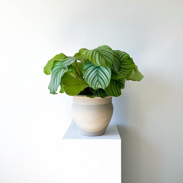 ghp orbifolia02