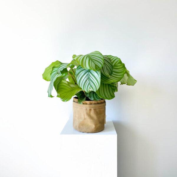 ghp orbifolia03