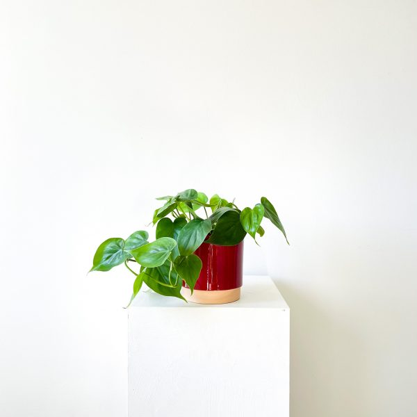 philodendron 1 2