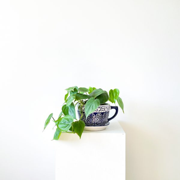 philodendron 2 2