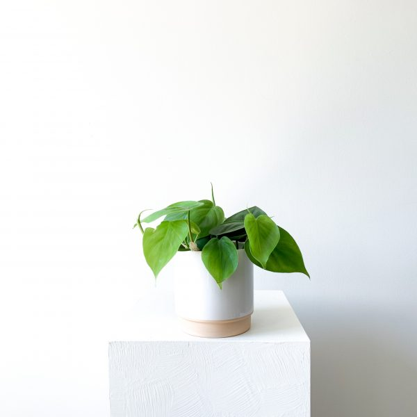philodendron 2 scaled