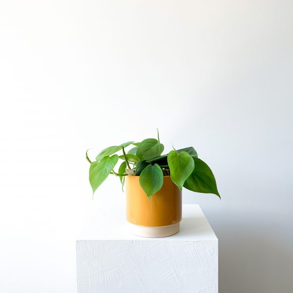 philodendron 3 scaled