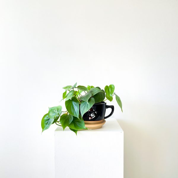 philodendron 4 2