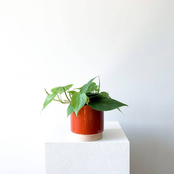 philodendron 4 scaled