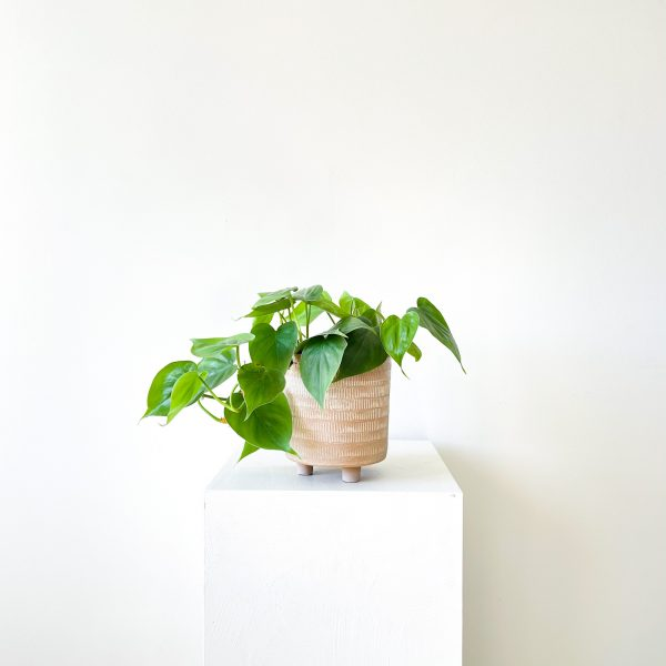 philodendron 5 1