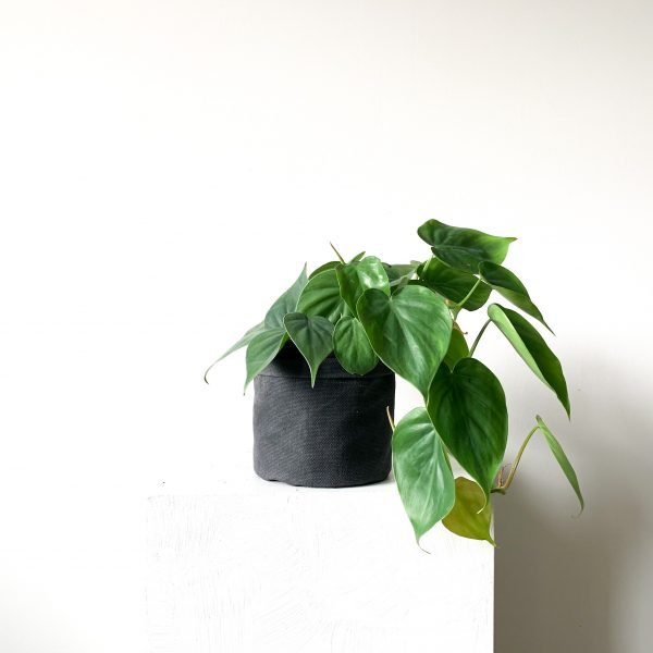philodendron 6