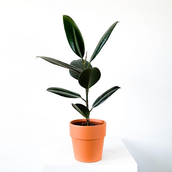 Ficus Elastica 1