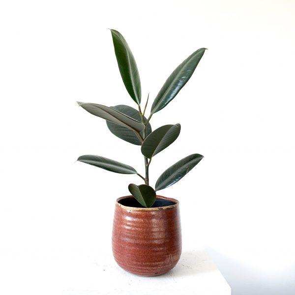 Ficus Elastica 2