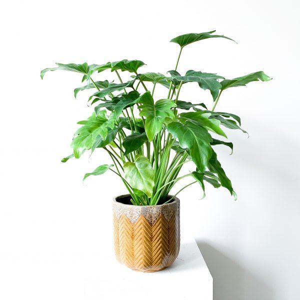 Philodendron Xanadu 2