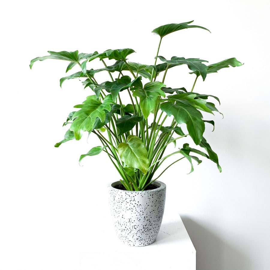 Philodendron Xanadu 3