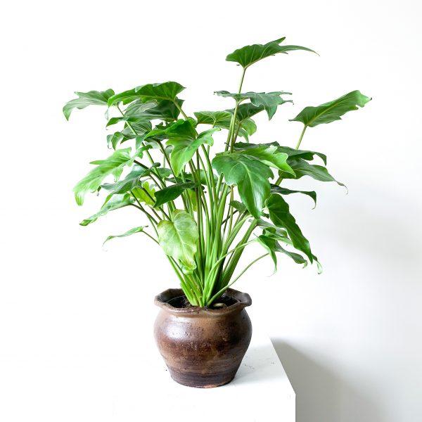 Philodendron Xanadu 4