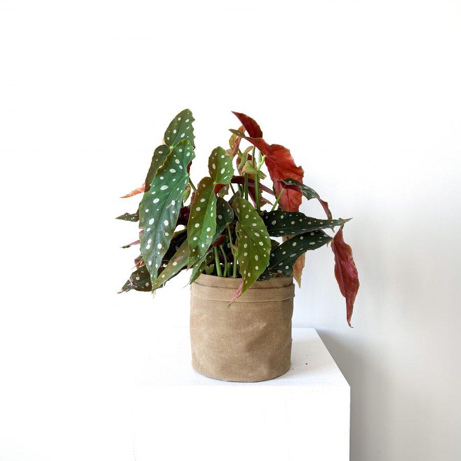 Begonia 2 1