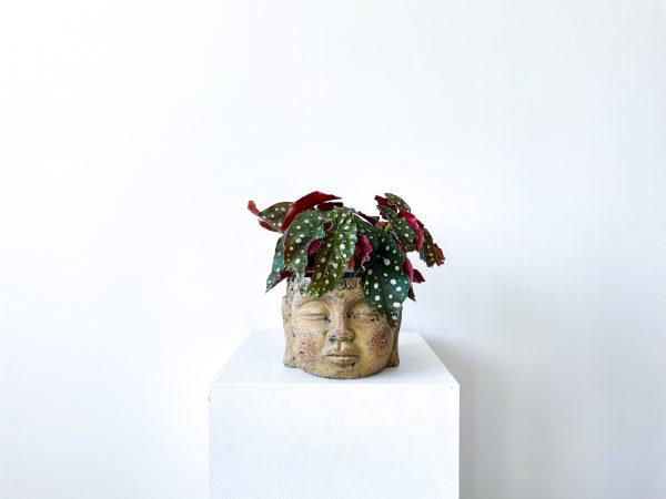 begonia macullata 2