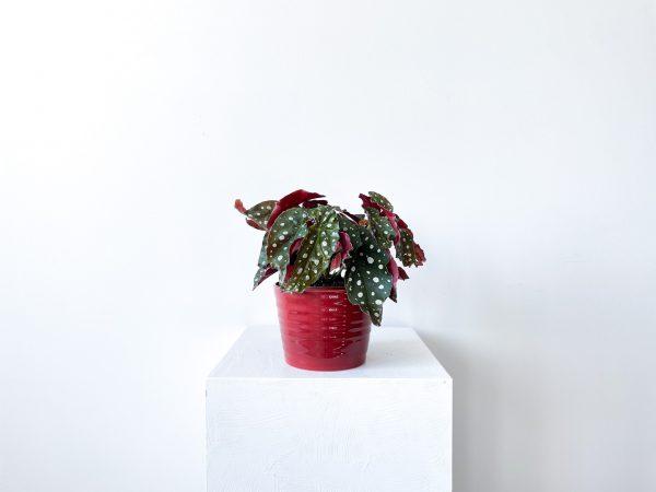 begonia macullata 3