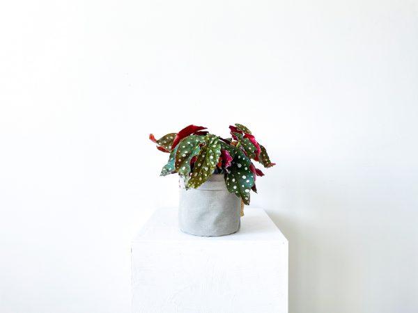 begonia macullata 5