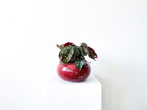 begonia macullata 6