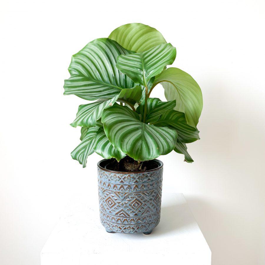 calathea orbifolia 1