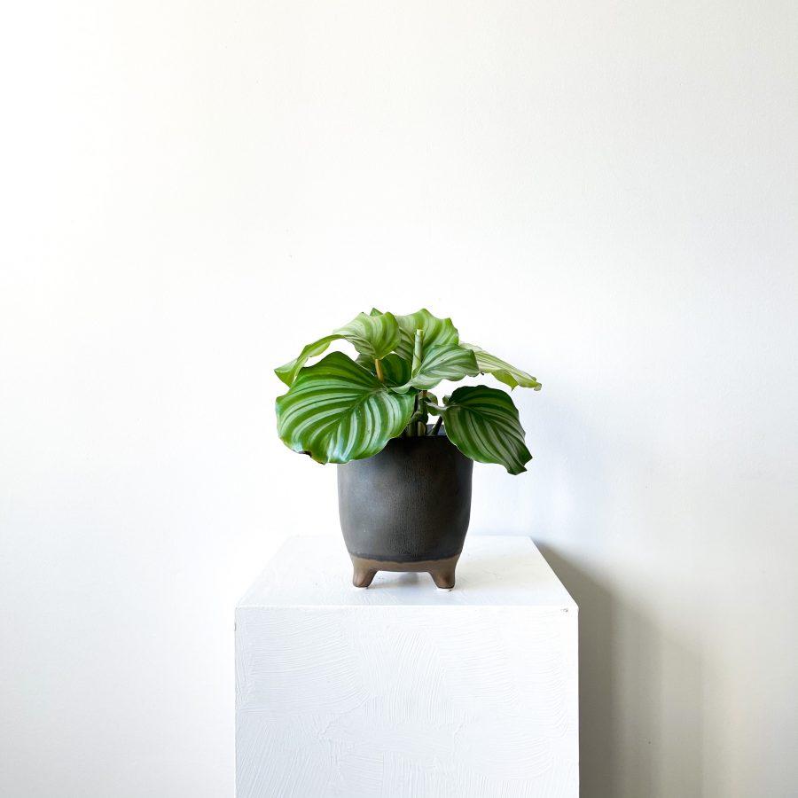 orbifolia 2 1