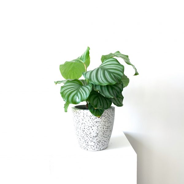 orbifolia 2