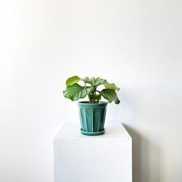 orbifolia 5