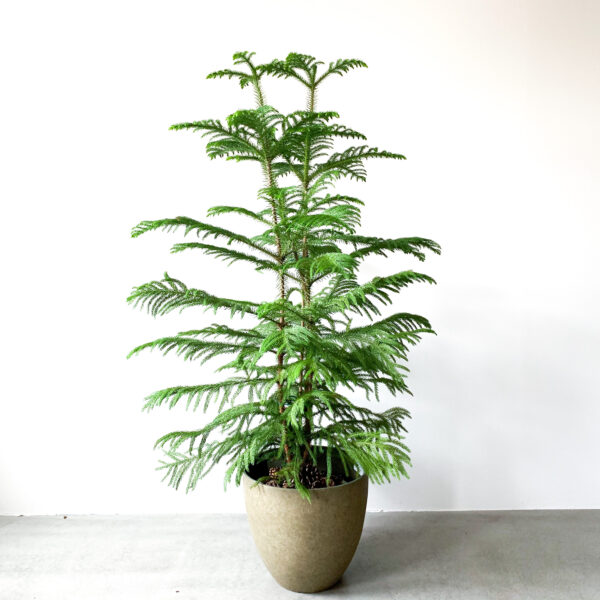 Araucaria Heterophylla 2 scaled