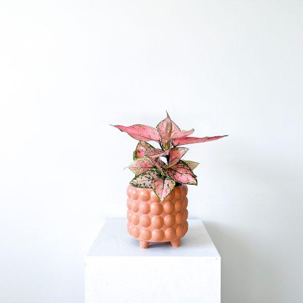 Aglaonema Pink Cherry 1