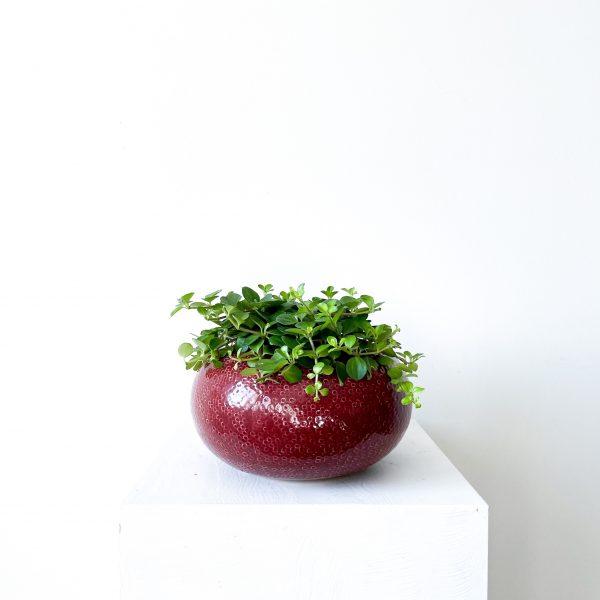 Peperomia Hoffmannii 4