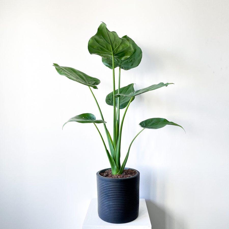 alocasia cuculata 1