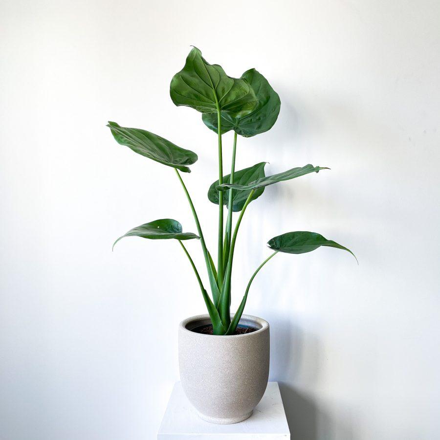 alocasia cuculata 2