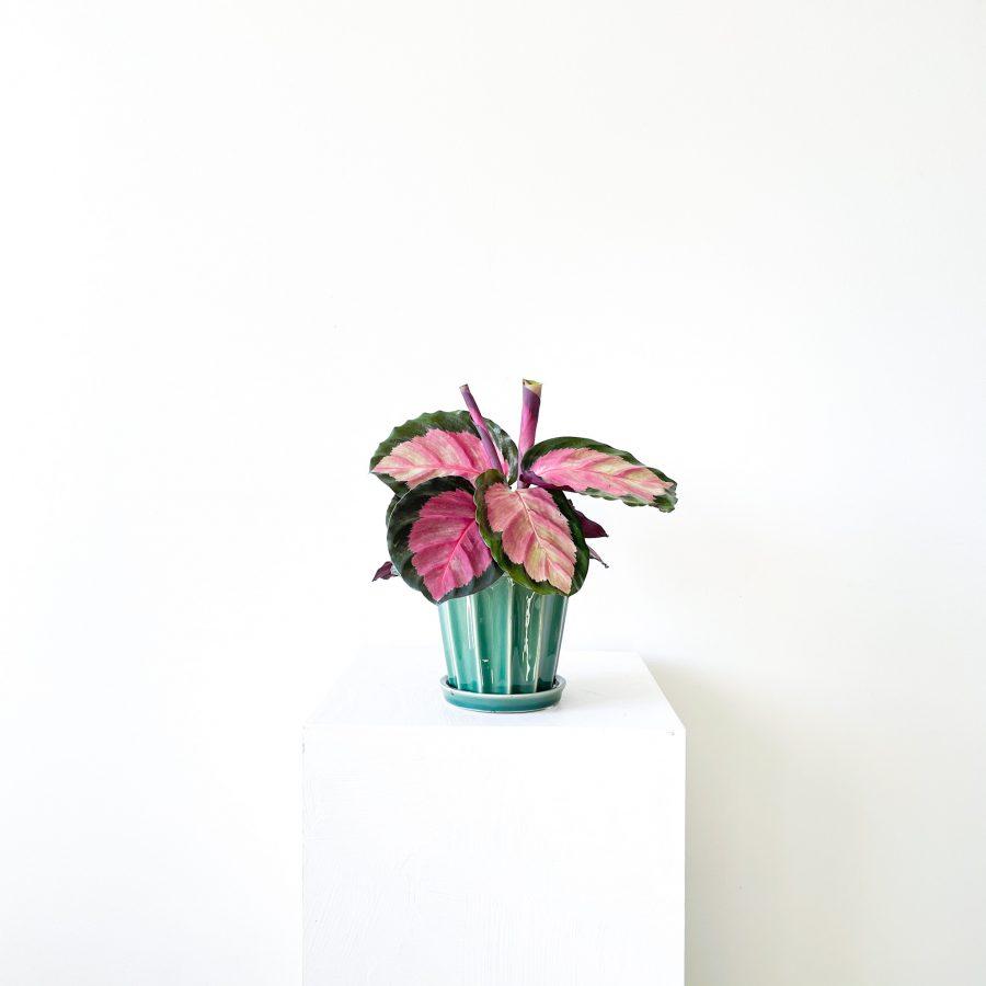 calathea roseoptica rosy 1