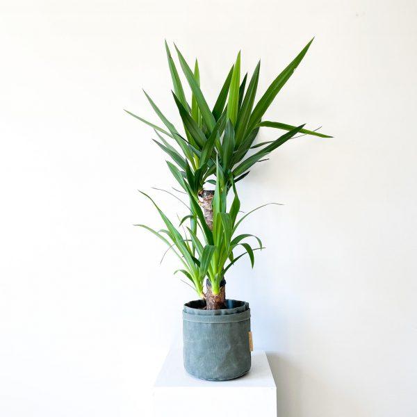 yucca 3