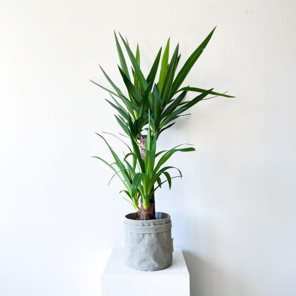 yucca 5